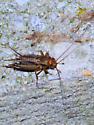 Red-headed brown cricket - Allonemobius
