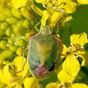Bug - Thyanta custator