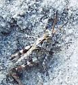 young Longhorn Band-winged Grasshopper - Psinidia fenestralis