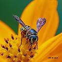 Bee or wasp - Dianthidium curvatum