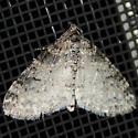 Powdered Bigwing - Lobophora nivigerata