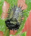 Thistle Tortoise Beetle larva - Cassida rubiginosa