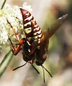Western Cicada Killers_mate_Sphecius grandis - Sphecius grandis - male - female