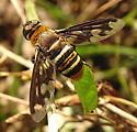 Exoprosopa fascipennis?