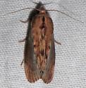 Unidentified Moth - Galleria mellonella