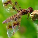 dragonfly - Perithemis tenera - female
