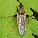 fly - Platypalpus ? - Platypalpus trivialis