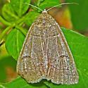 Common Oak Moth - Phoberia atomaris