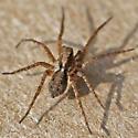 thin-legged wolf spider - male
