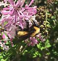 Large bumblebee - Bombus nevadensis