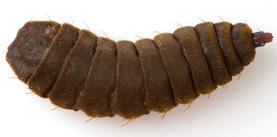 Hermetia illucens larvae - Hermetia illucens