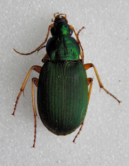 Chlaenius sericeus  - Chlaenius sericeus - female