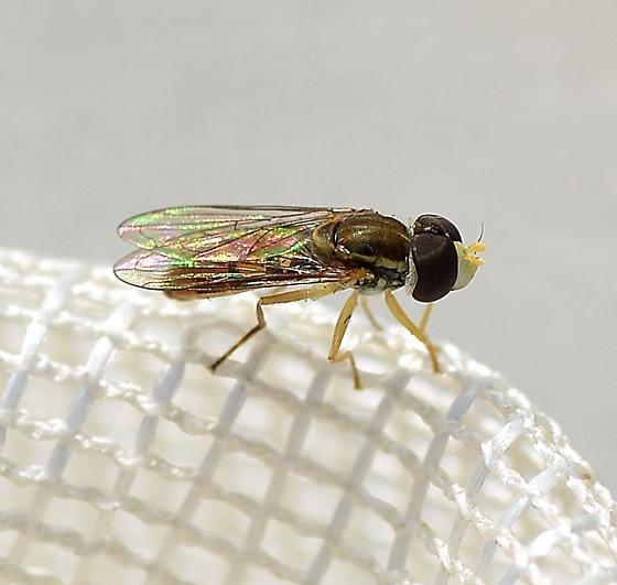 Syrphidae  - Toxomerus