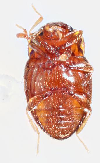 Sonora-4 - Symbiotes gibberosus