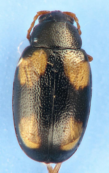 Phyllotreta bipustulata / striolata - Phyllotreta bipustulata