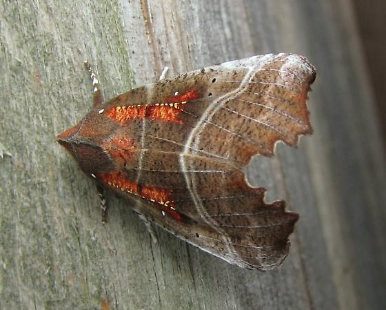 brown and rusty orange moth - Scoliopteryx libatrix