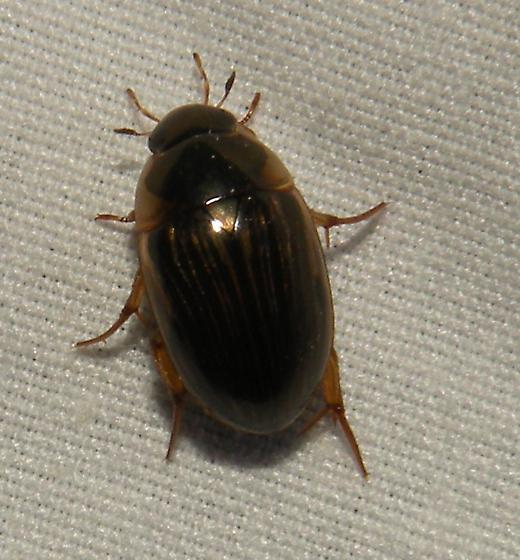 water bug - Tropisternus collaris
