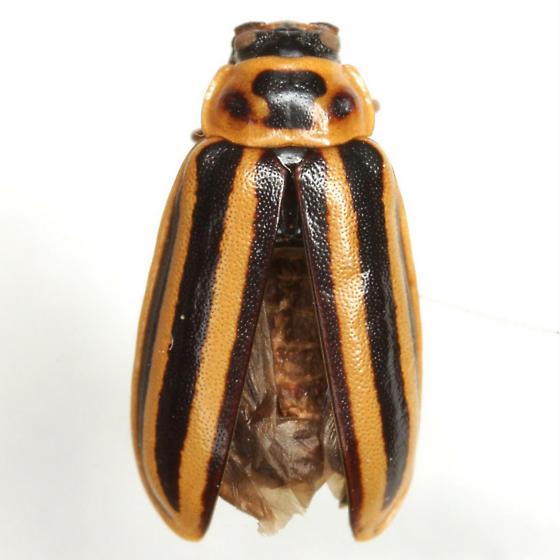 Disonycha procera Casey - Disonycha procera