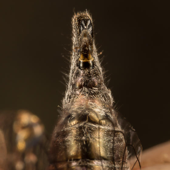 Platypedia scotti - male