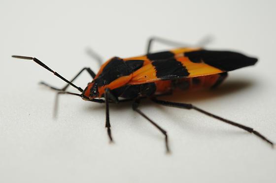 Unidentified Hemipteran - Oncopeltus fasciatus