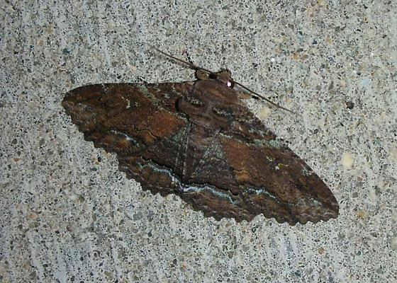 Rust-colored horned moth - Zale lunata