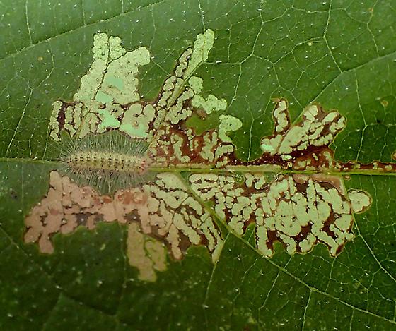 Adaina ambrosiae caterpillar on Ambrosia trifida, shown with leaf markings - Adaina ambrosiae