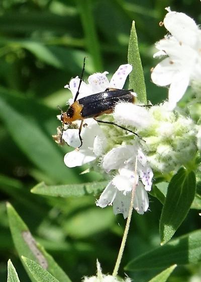 Soldier Beetle?