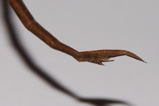 Walking stick - Manomera blatchleyi - female