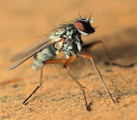 Long-Legged Fly? - Bithoracochaeta - female