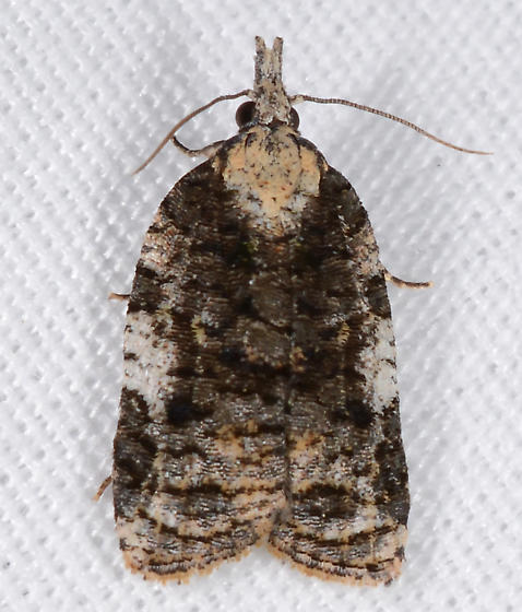 Platynota exasperatana - female