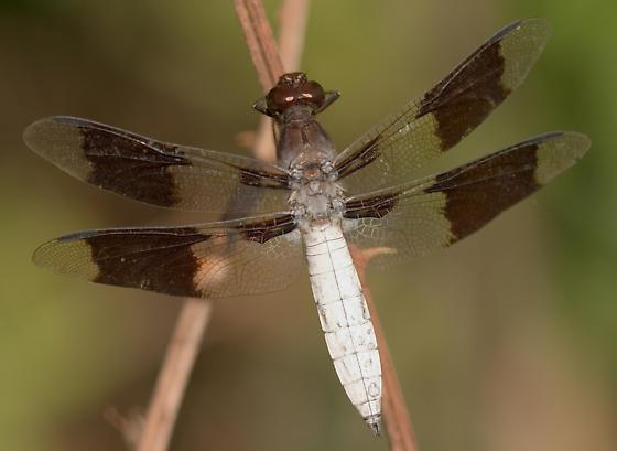 Common Whitetail, male - Plathemis lydia - male