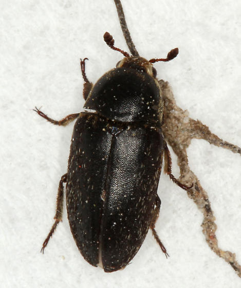 black carpet beetle - Dermestes