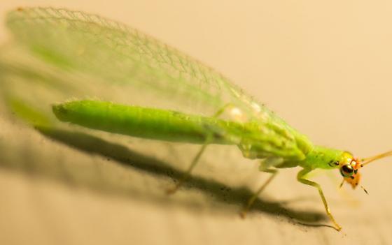 Green Bug - Chrysopa