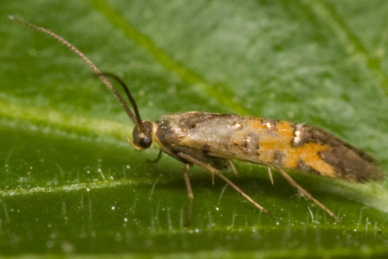 Small Moth with Horns - Neoheliodines cliffordi