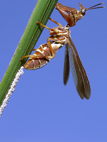 Climacielle brunnea ovipositing on a grass leaf! - Climaciella brunnea - female