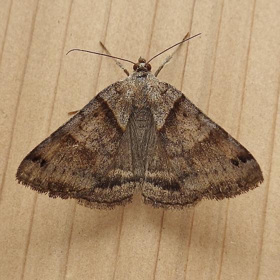 Erebidae: Caenurgina - Caenurgina crassiuscula