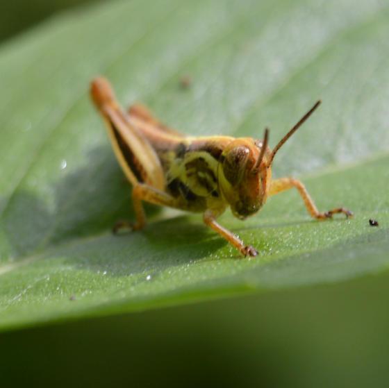 Grasshopper2 - Melanoplus