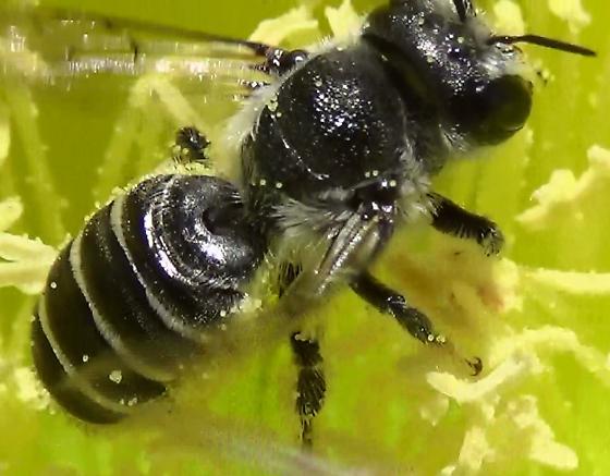 Mason Bee In Cactus Flower - Lithurgopsis - female