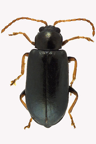 Leaf Beetle - Scelolyperus meracus
