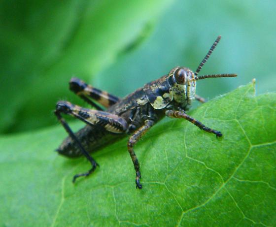 Grasshopper, Alpine Garden, Mt. Washington - Booneacris glacialis