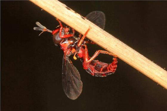 small red-orange fly with black wings and yellow halteres - Mixogaster