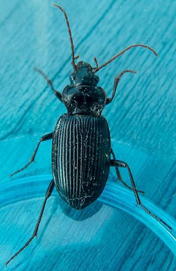 Black Beetle - Nebria brevicollis - female