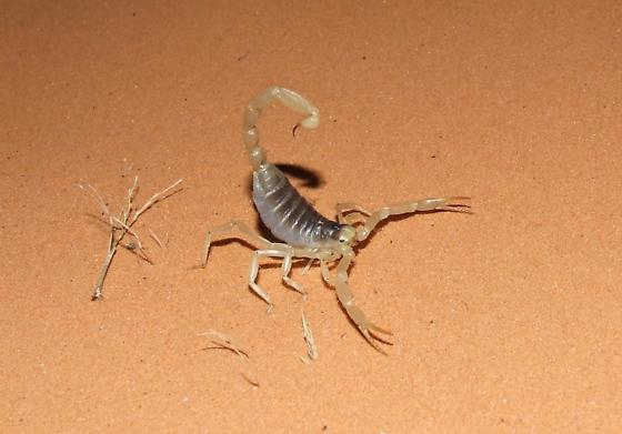 Desert Hairy Scorpion - Hadrurus arizonensis