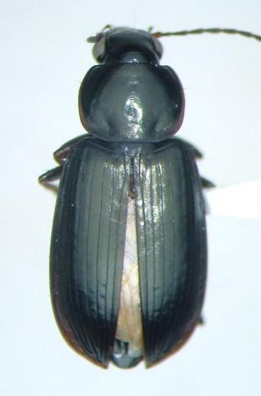 Stenolophus spretus