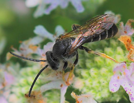Black Bee - Halictus rubicundus - male