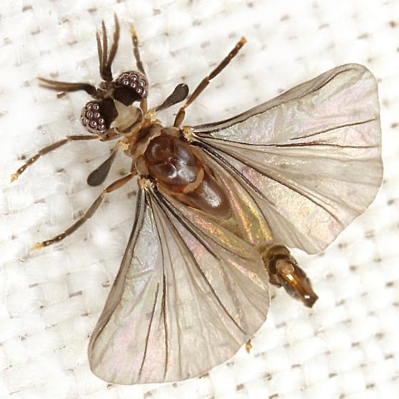 Corioxenidae - male