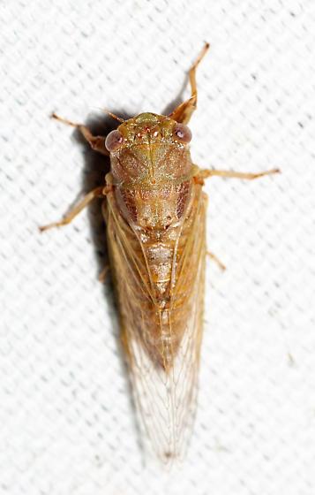 Very small cicada - Cicadetta calliope