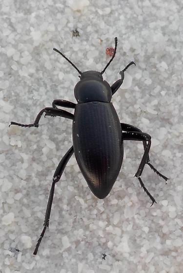 darkling beetle Eleodes? - Eleodes