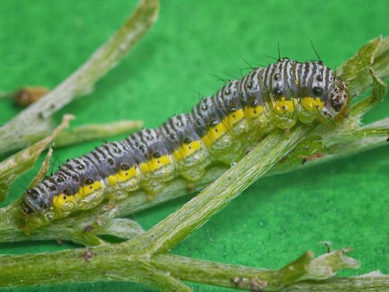 Order Lepidoptera - Butterflies and Moths - Evergestis rimosalis