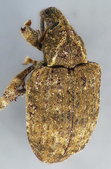 snout beetle #2 - Conotrachelus seniculus